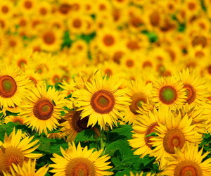 sunflower and summer image