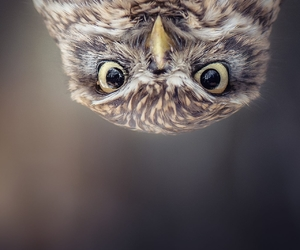 animals, little owl, and birds image