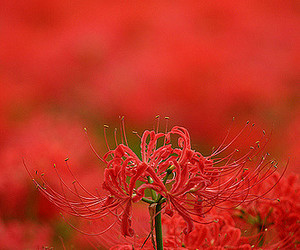 flower, flowers, and red image