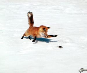 fox, photography, and red fox image