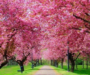 pink, tree, and spring image