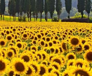 nature, sunflower, and tree image