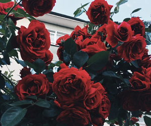 nature, red, and rose image