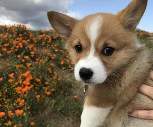 corgi, cute, and dog image