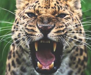 animals, jaguar, and big cat image