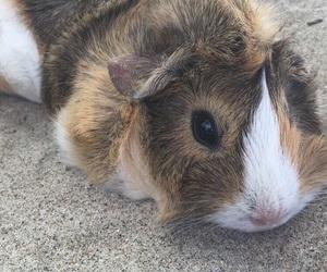 animal, guinea pig, and love image