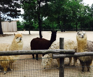 alpacas, date, and lama image