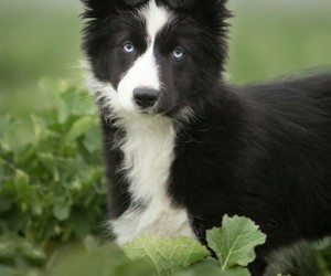 animals, border collie, and dogs image