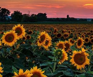 flowers, sunflower, and sunset image