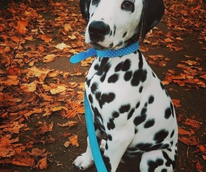 dalmatian, dogs, and cute image