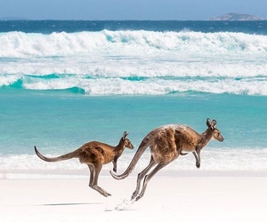 beach, kangaroo, and summer image