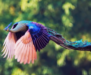 peacock, bird, and animal image