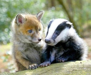 fox and badger image