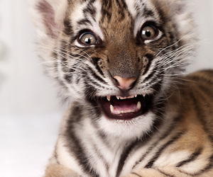 photography, tiger, and tigre image