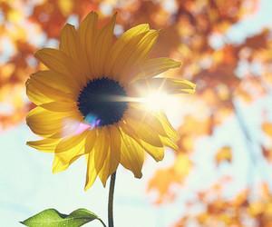 flowers, sunflower, and sun image