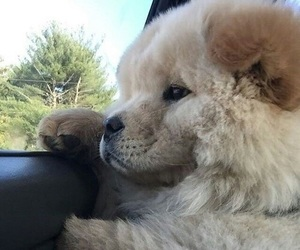 chow chow, dog, and cute image