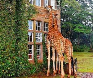 giraffe, animal, and house image