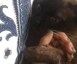 siamese and love image