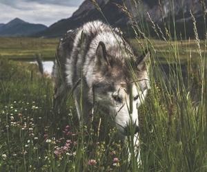 dog, wolf, and landscape image