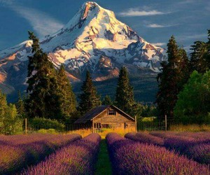 art, field, and lavender image