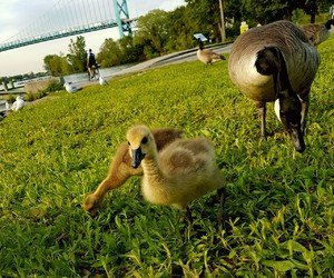 grass, gosling, and nature image