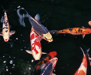 dark, fish, and koi image