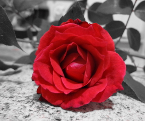 colorsplash, red, and rose image