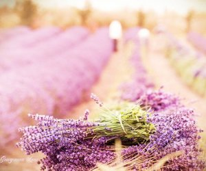 lavender, flowers, and field image