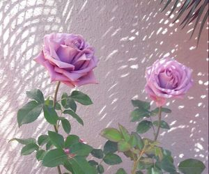 aesthetic, rose, and roses image