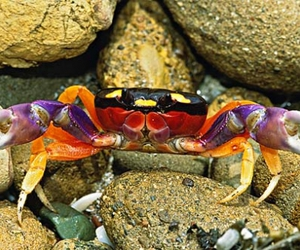 costa rica and colorful crab image