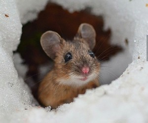mouse, snow, and cute image