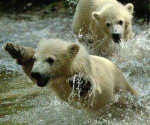 animals and polar bears image