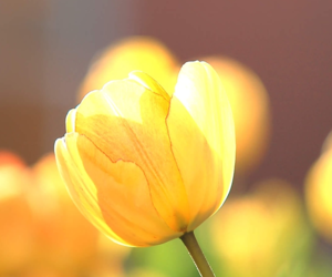 tulips, yellow+, and flowers image