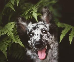 dog, happy, and sheepdog image