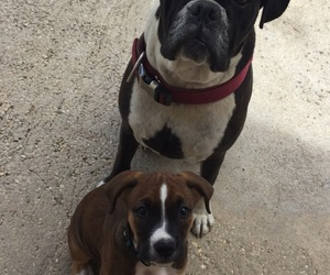 boxers, dogs, and puppy image