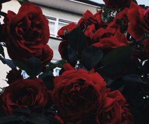rose, lockscreen, and roses image