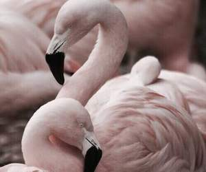 animals, flamingos, and photography image
