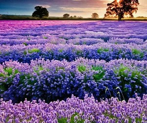 art, lavender, and nature image