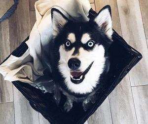 black, happy, and husky image
