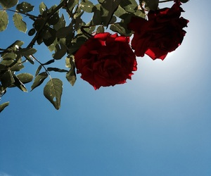 flowers, red roses, and rose image