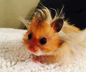 hair, hamster, and cute image