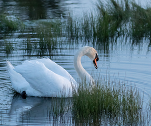 animals, beauty, and Swan image