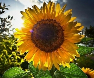 be, sunflowers, and dailyquotes image
