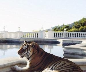 tiger, animal, and pool image
