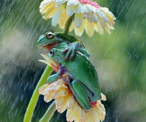daisys, frogs, and rain image