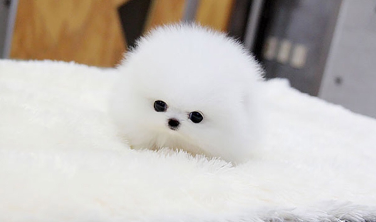 Small Dog Cute White Dog Puppy On We Heart It