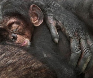 animal, baby, and chimpanzee image