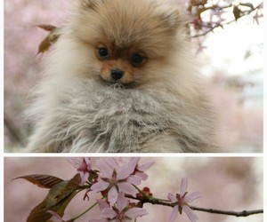cherryblossom, dog, and flower image
