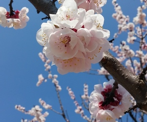 beauty, pink, and cherry blossom image