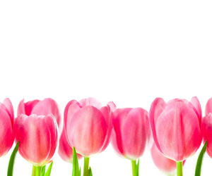 pink, tulips, and flowers image